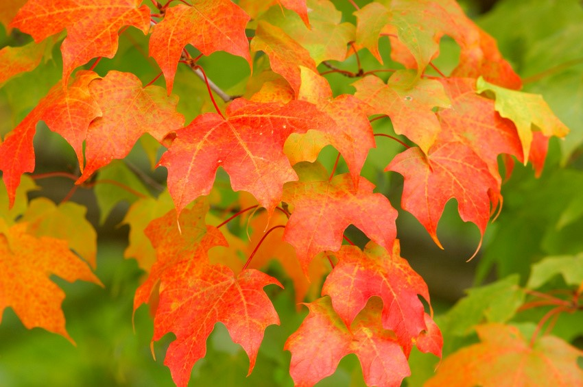 Herbst Blätter ms free