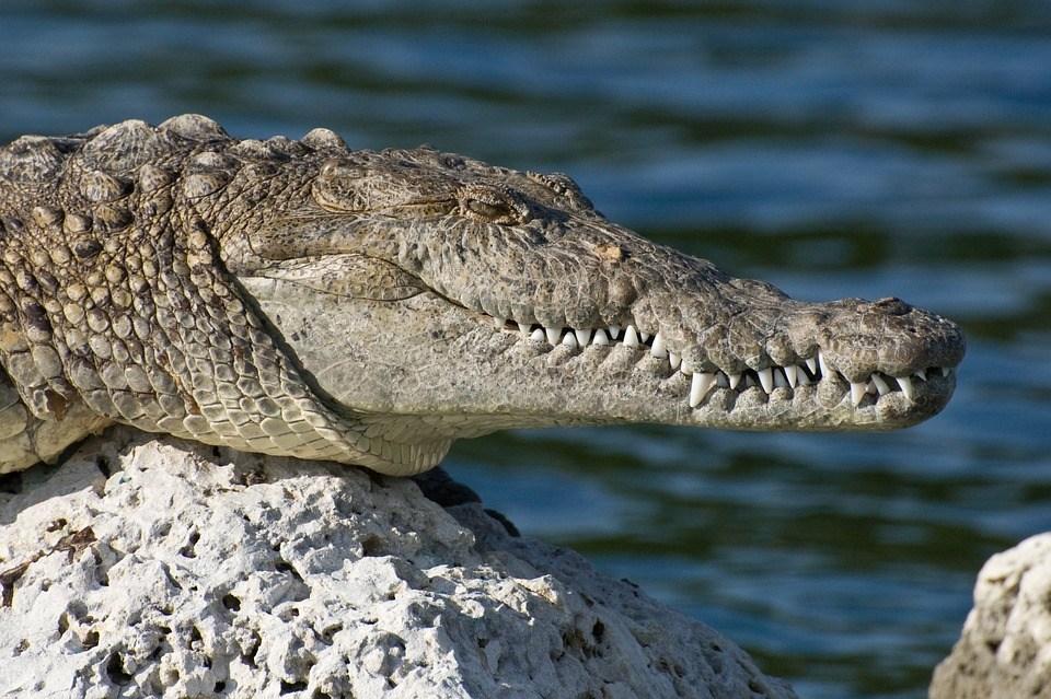 foto cc0 pixabay tpsdave krokodil