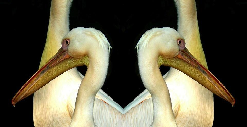 foto cc0 pixabay cocoparisienne pelikan doppelt