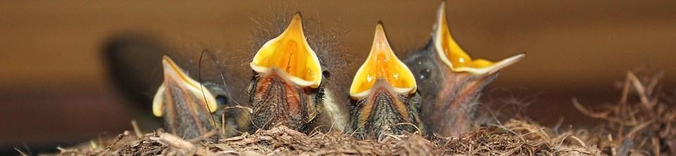 foto cc0 pixabay eirik raudi junge vögel nachwuchs