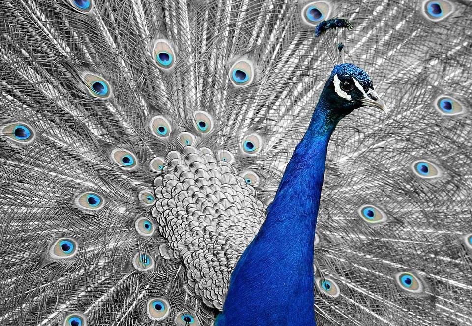 foto-cc0-pixabay-pixel2013-pfau-blau