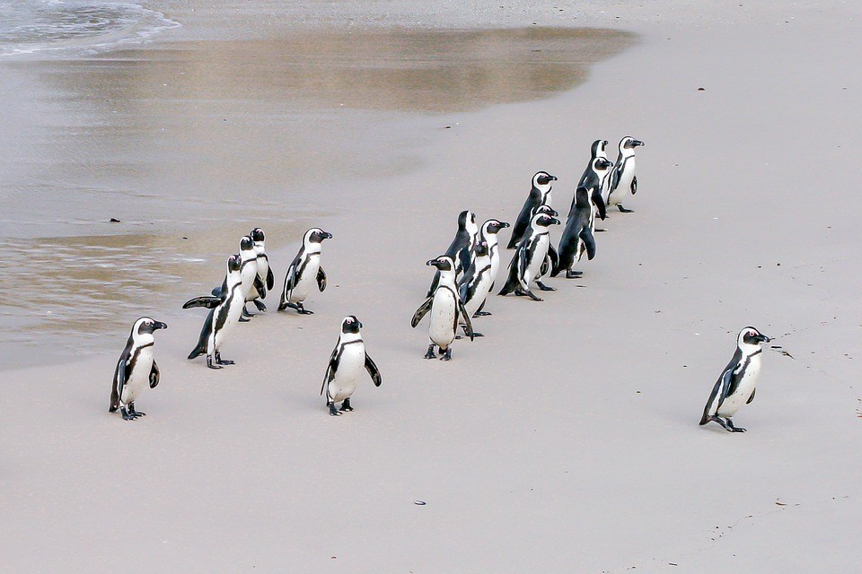 foto cc0 pixabay robert_z_zemi chef pinguine